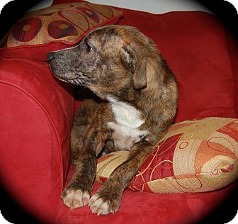 Australian Shepherd/Mountain Cur Mix Puppy for adoption in Ijamsville, Maryland - Vixen