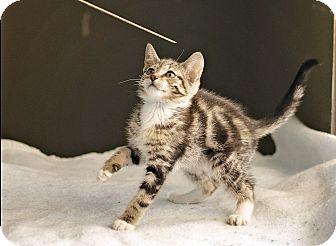 Domestic Shorthair Kitten for adoption in Carencro, Louisiana - Gomez