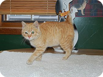 Manx Cat for adoption in North Judson, Indiana - Muffin
