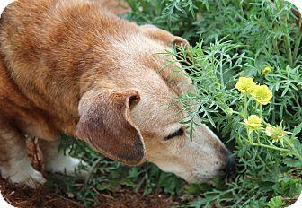 Corgi/Dachshund Mix Dog for adoption in Creston, California - Red Rye