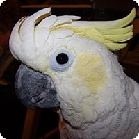 Cockatoo for adoption in Northbrook, Illinois - Tony
