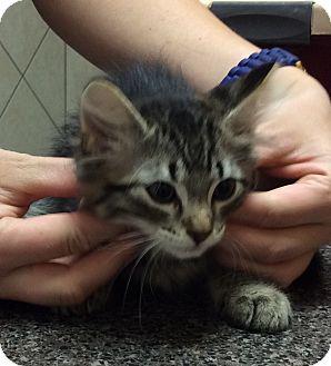 Domestic Mediumhair Kitten for adoption in St. Louis, Missouri - Indiana Jones