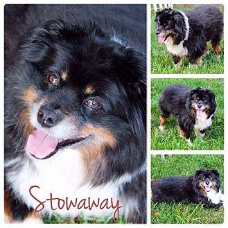 Australian Shepherd Mix Dog for adoption in Garden City, Michigan - Stowaway