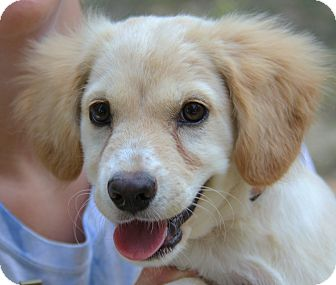 Golden Retriever/Cocker Spaniel Mix Puppy for adoption in Stamford, Connecticut - Rose