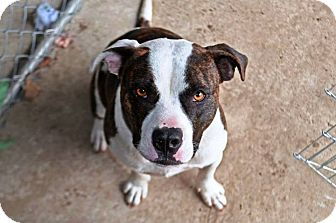 Pit Bull Terrier Mix Dog for adoption in Ewing, New Jersey - Felix
