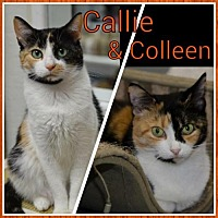 Domestic Shorthair Cat for adoption in Atlanta, Georgia - Colleen 14215