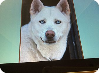 Husky Mix Puppy for adoption in Los Angeles, California - LASKA VON LUFT