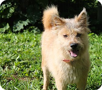 Norwich Terrier Mix Dog for adoption in Hixson, Tennessee - Scruffy