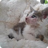 Adopt A Pet :: Copper Penny - Columbus, OH