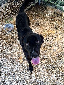 Labrador Retriever/Shepherd (Unknown Type) Mix Dog for adoption in Baxter, Tennessee - Echo