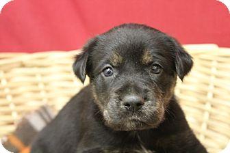 Plott Hound Mix Puppy for adoption in Waldorf, Maryland - Gwen