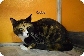 Calico Cat for adoption in Elyria, Ohio - Cookie