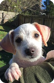Terrier (Unknown Type, Small)/Jack Russell Terrier Mix Puppy for adoption in Atlanta, Georgia - Teddy