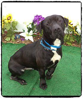 Basset Hound/Labrador Retriever Mix Dog for adoption in Marietta, Georgia - JAKE (R)