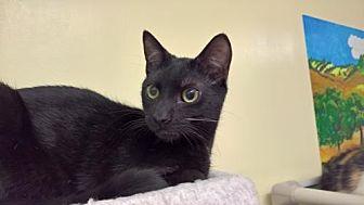 Domestic Shorthair Cat for adoption in Morgan Hill, California - Radegast 'Rad'