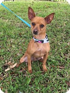 Chihuahua Mix Dog for adoption in Houston, Texas - Casanova
