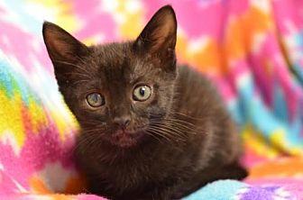 Domestic Shorthair Cat for adoption in Atlanta, Georgia - Pie161025