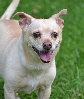 Chihuahua Mix Dog for adoption in Asheville, North Carolina - Bingo