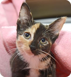Domestic Shorthair Kitten for adoption in New York, New York - Astrid