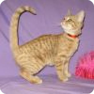Domestic Shorthair Cat for adoption in Powell, Ohio - Cinnamon