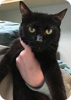 Domestic Shorthair Kitten for adoption in Westminster, California - Jenna
