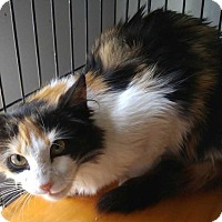 Calico Kitten for adoption in Dallas, Texas - Deanna