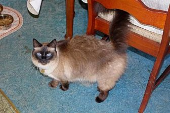 Balinese Cat for adoption in Herndon, Virginia - Alcyone (& Asterope)