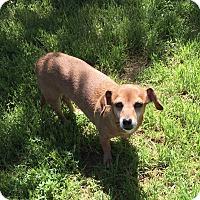 Adopt A Pet :: Honey Golden Paws $75 - Redding, CA