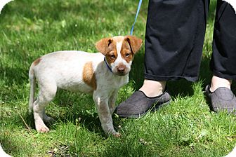 Beagle/Australian Cattle Dog Mix Puppy for adoption in West Milford, New Jersey - HUNTER