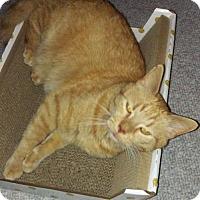 Domestic Shorthair Cat for adoption in Harrisonburg, Virginia - Felix