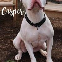 American Pit Bull Terrier Mix Dog for adoption in Pomona, New York - Casper