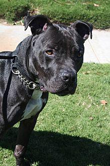 Pit Bull Terrier/American Pit Bull Terrier Mix Dog for adoption in Newport Beach, California - Wayne