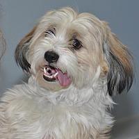 Adopt A Pet :: Scrappy - Brooklyn Center, MN