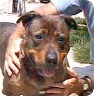 Rottweiler/German Shepherd Dog Mix Dog for adoption in Berkeley, California - Rufus