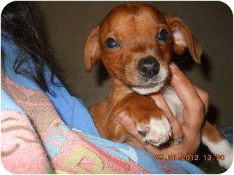 Chihuahua/Dachshund Mix Puppy for adoption in berwick, Maine - Daniel