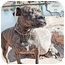 Photo 4 - American Pit Bull Terrier/Boxer Mix Dog for adoption in Phoenix, Arizona - Lola