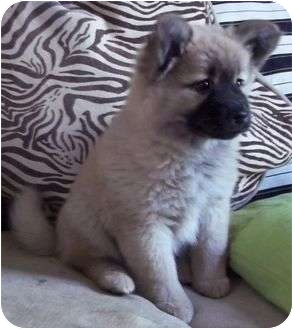 Sheltie, Shetland Sheepdog/Shepherd (Unknown Type) Mix Puppy for adoption in Hagerstown, Maryland - Vesna