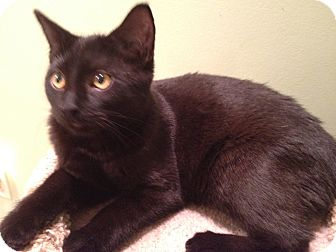 Domestic Shorthair Cat for adoption in East Hanover, New Jersey - Jaguar - Stunning!