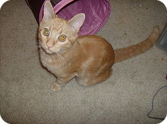Domestic Shorthair Kitten for adoption in Scottsdale, Arizona - Fred- courtesy post