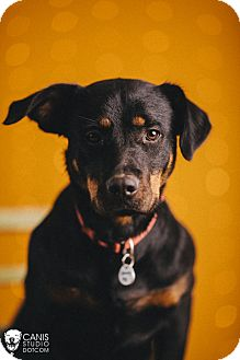 Rottweiler Mix Dog for adoption in Portland, Oregon - Dixie