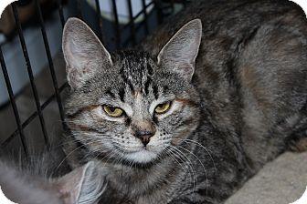 American Shorthair Kitten for adoption in Santa Monica, California - Presley