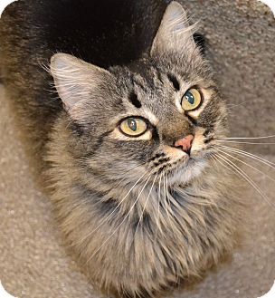 Domestic Longhair Cat for adoption in Gilbert, Arizona - Thelma