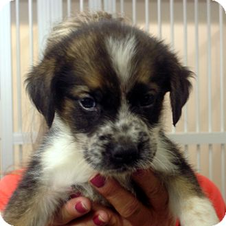 Border Collie/Australian Shepherd Mix Puppy for adoption in Greencastle, North Carolina - Shep