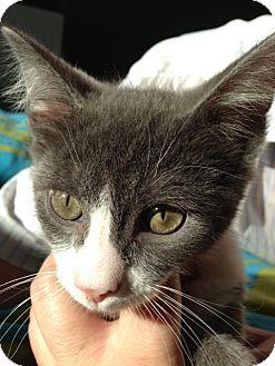 Domestic Mediumhair Kitten for adoption in Los Angeles, California - George Joseph
