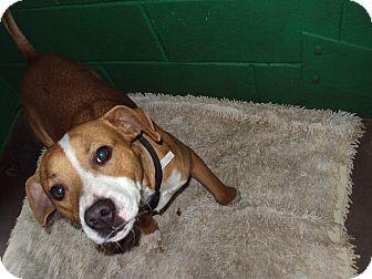Beagle/Pit Bull Terrier Mix Dog for adoption in BLACKWELL, Oklahoma - Otis