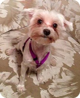 Maltese Dog for adoption in Bartow, Florida - Holly Berry
