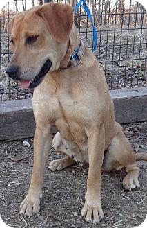 Labrador Retriever Mix Dog for adoption in Oak Brook, Illinois - Beauty