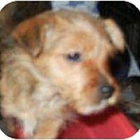 Adopt A Pet :: Bambi - VERY TINY!! - Antioch, IL