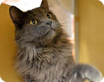 Domestic Mediumhair Cat for adoption in Chandler, Arizona - Sulley