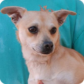 Chihuahua Mix Dog for adoption in Las Vegas, Nevada - Melody